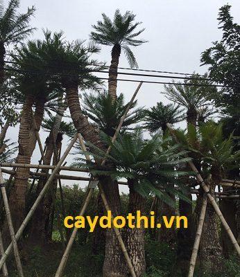 Phân biệt cây thiên tuế và cây vạn tuế